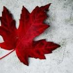 maple leaf ice